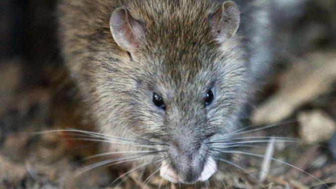 Les rats prolifèrent à Paris