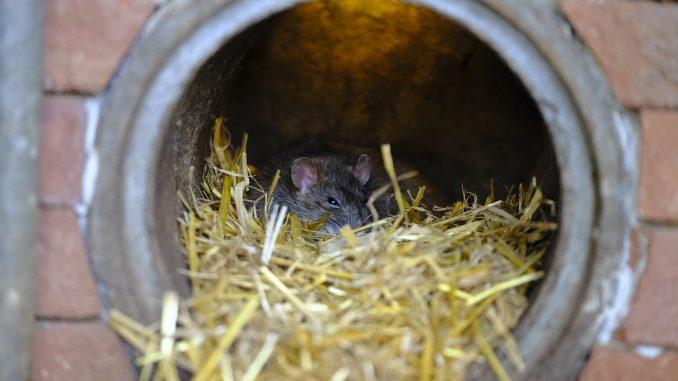 Rat dans un égout