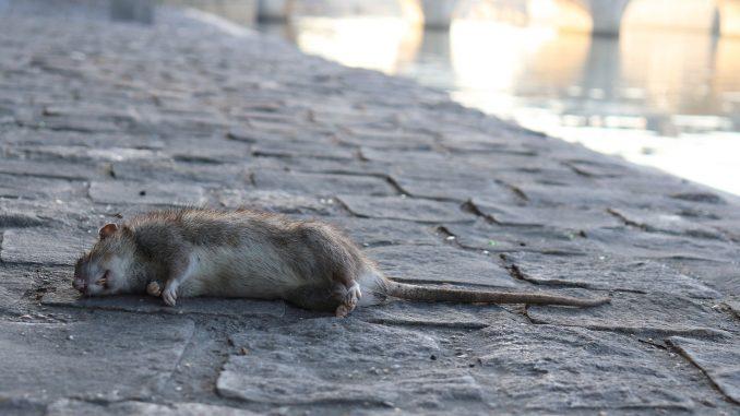 Les rats sont de plus en plus visibles à Paris.